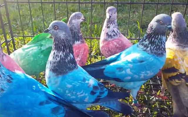 Английские голуби типплеры описание породы уход фото