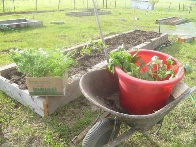 Сажаем малину весной правильно (пошаговая инструкция с фото)