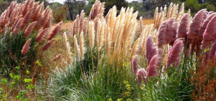 Пампасная трава: особенности посадки и выращивания