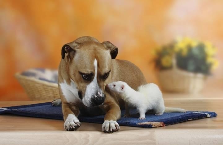 Уживется ли хорек с кошкой или котом в домашних условиях