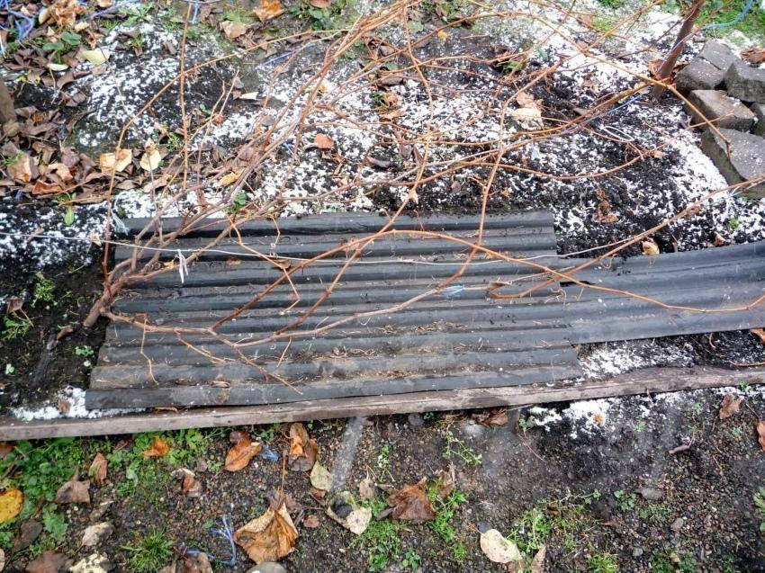 Виноград в сибири для начинающих посадка и уход осенью