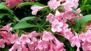 Вейгела: фото, описание кустарника, посадка и уход в открытом грунте, сорта и виды, правила выращивания