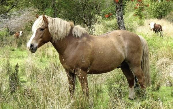 Першеронская порода лошадей: происхождение, характеристики и правила ухода