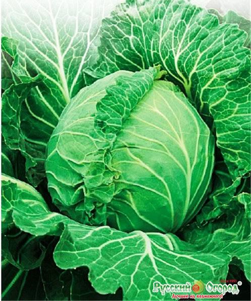Особенности выращивания капусты «золотой гектар». белокочанная капуста: сорт золотой гектар