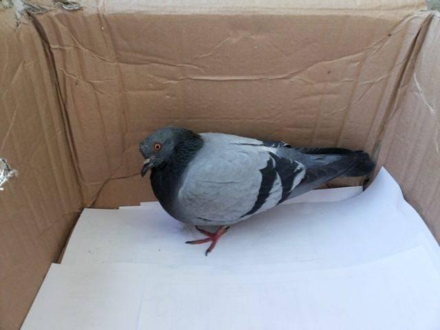 Болезнь ньюкасла у голубей: симптомы и лечение