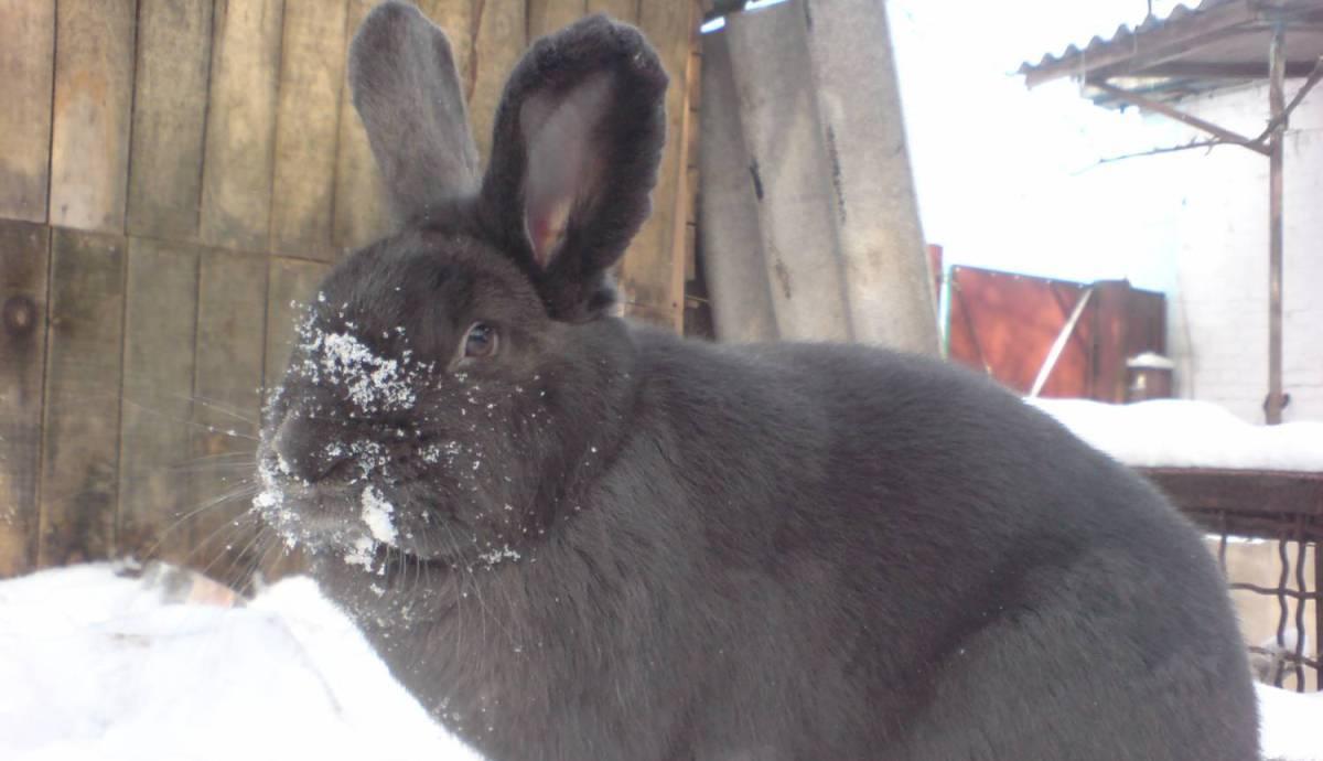 Кролики породы венский голубой — характеристика, уход и содержание, разведение в россии. | cельхозпортал