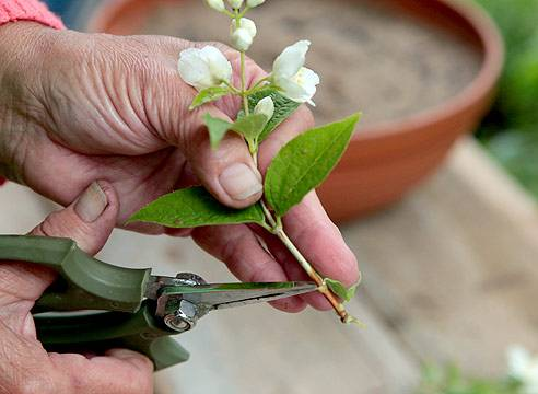 Жасмин садовый (чубушник) посадка и уход