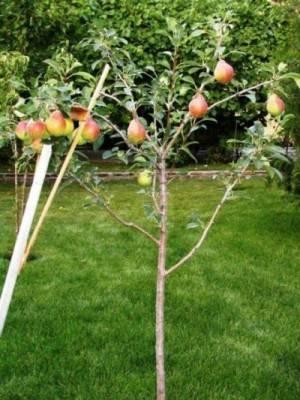 Выращивание груши сорта виктория