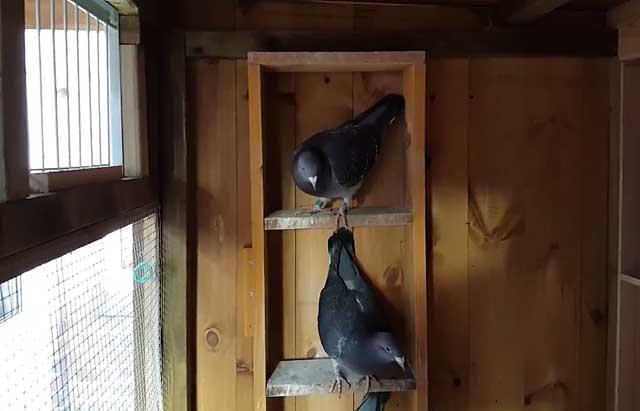 Родотиум для голубей: для чего он нужен, инструкция по применению
