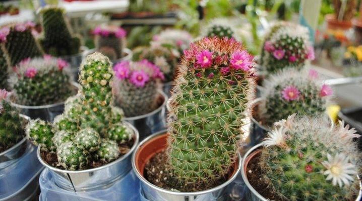 Растение опунция (opuntia): виды кактуса с фото и названиями
