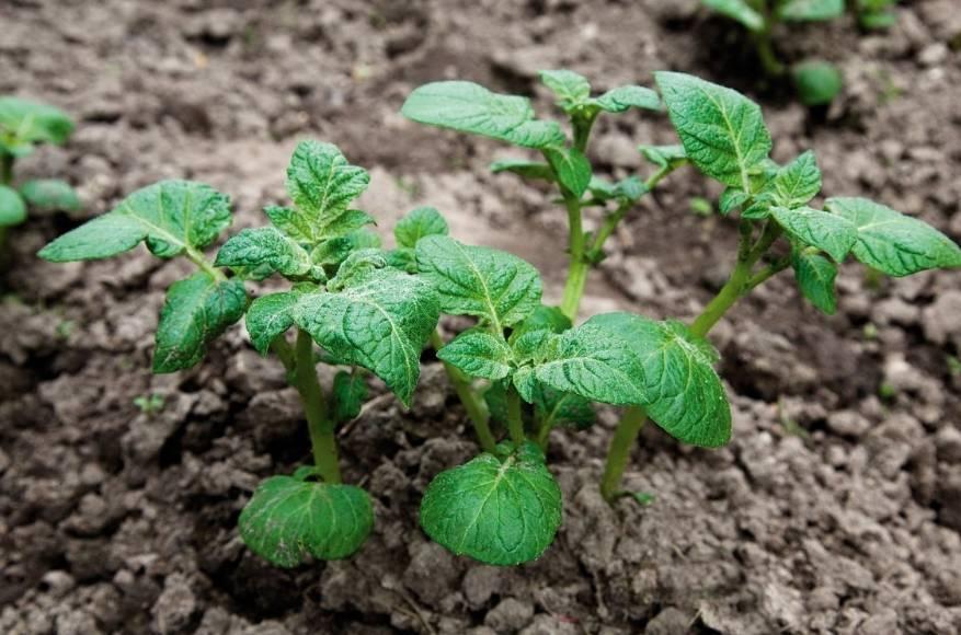 Лазурит от сорняков на картошке: отзывы и аналоги, инструкция по применению, как правильно разводить, характеристика