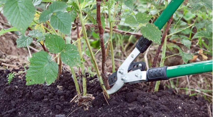 Правила и особенности обработки малины осенью