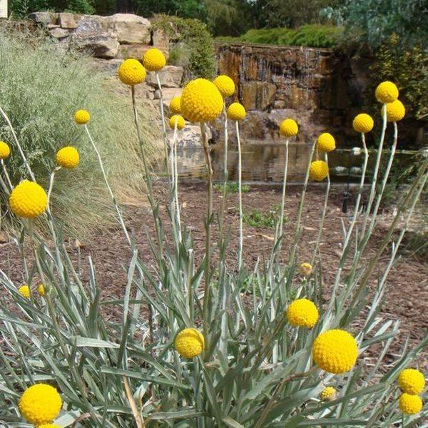 Краспедия: описание, сорта, посадка и выращивание в открытом грунте: фото цветка и растения +видео