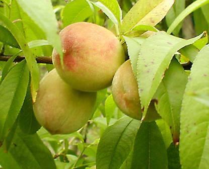 Сорта персика и нектарина для подмосковья - 20 самых лучших, сладких, крупных, вкусных персиков и нектаринов, колоновидные, самоплодные