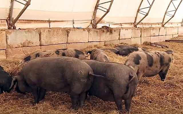 Подстилки для свиней: био, ферментационная, глубокая