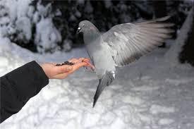 Применение Лозеваля для голубей