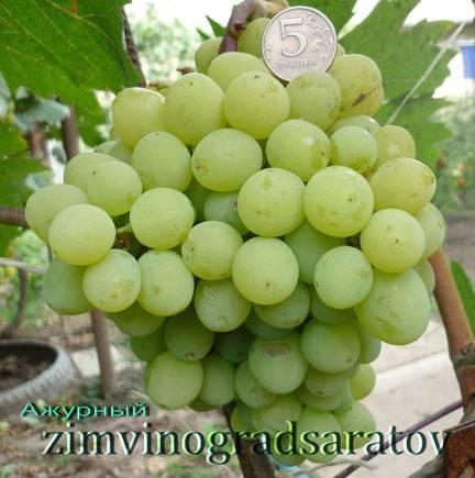 Неприхотливый виноград для новичков — сорт мариновский - сорта винограда, винные | описание, советы, отзывы, фото и видео