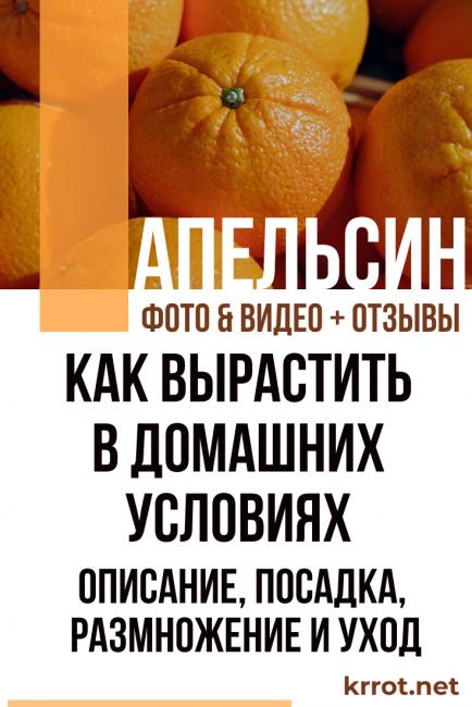 Апельсин: описание, посадка, размножение, уход (фото)+отзывы