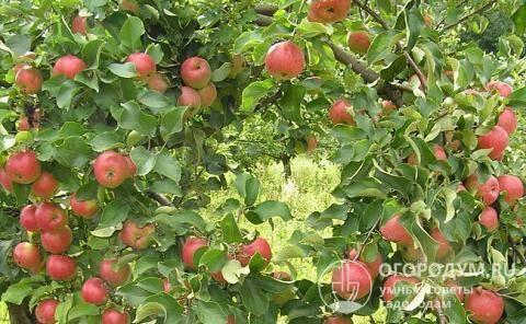 Сорт яблони жигулевское: описание, фото