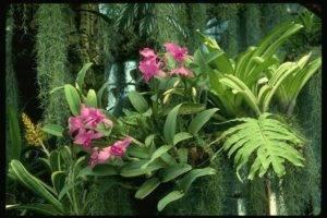 Эмина, даффи, биссерата и другие виды папоротника нефролепис