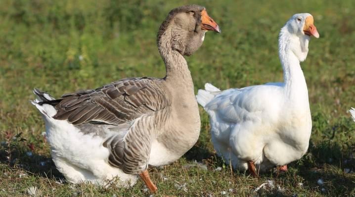 Порода тулузские гуси: характеристика и особенности содержания