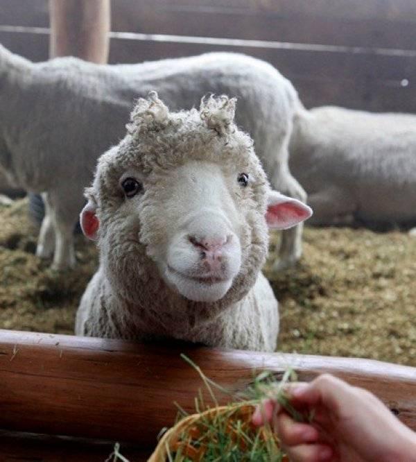 Содержание и кормление овец и баранов: технология и правильный рацион