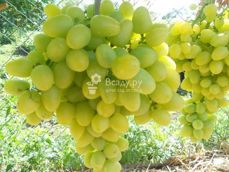 Виноград аркадия: описание сорта, отзывы, фото и видео