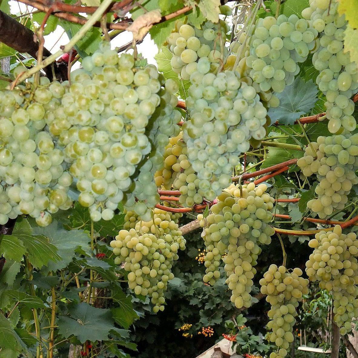 Виноград белое чудо: описание, фото, характеристика, правила посадки, ухода, особенности выращивания