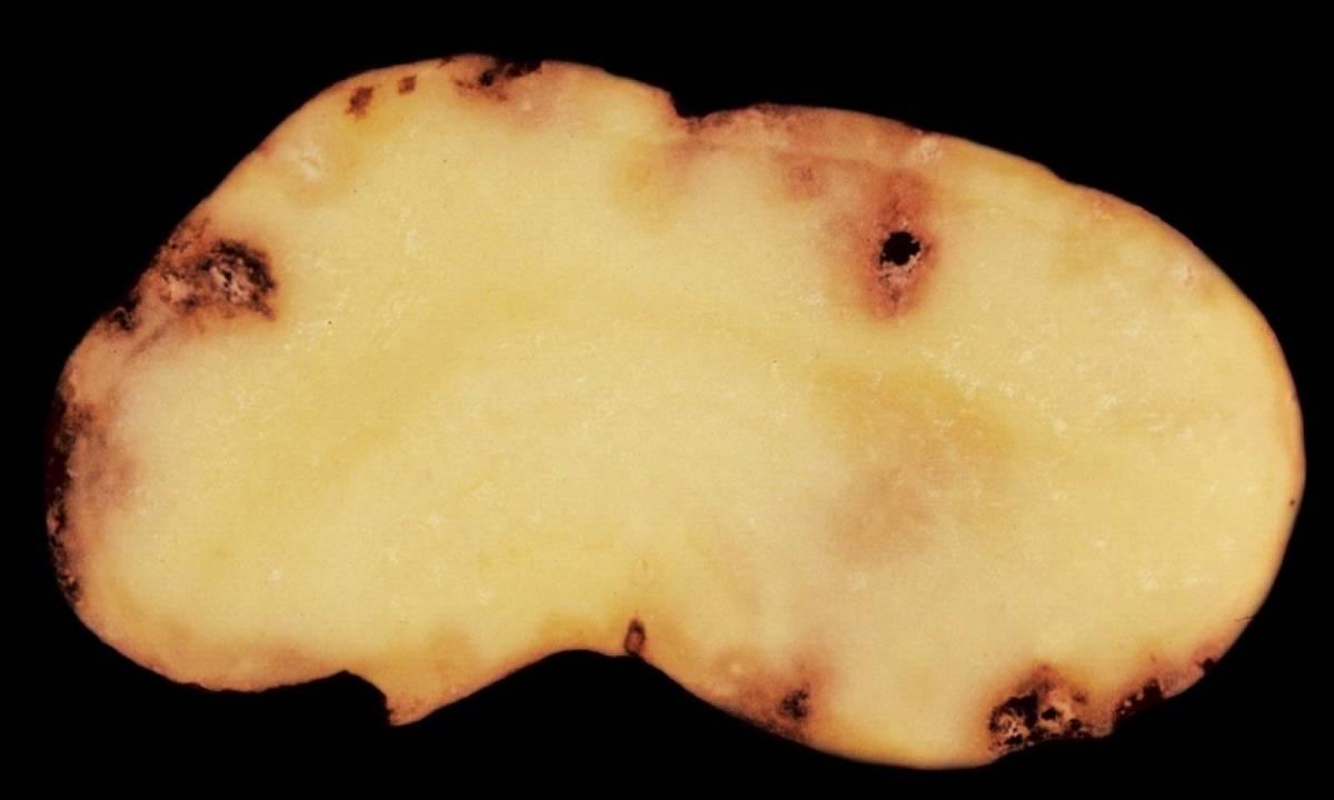 Признаки, профилактика и методы борьбы с картофельной нематодой