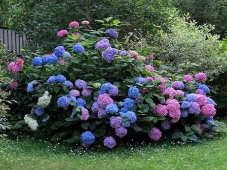 Пошаговая инструкция по подготовке гортензий к зиме и способы укрытия цветов