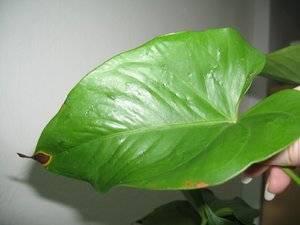 Как лечить болезни листьев антуриума – спасаем мужское счастье
