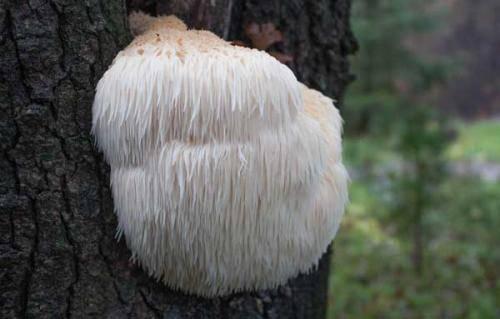 Рогатик гриб, как приготовить. описание гриба оленьи рожки (рогатика желтого), места распространения