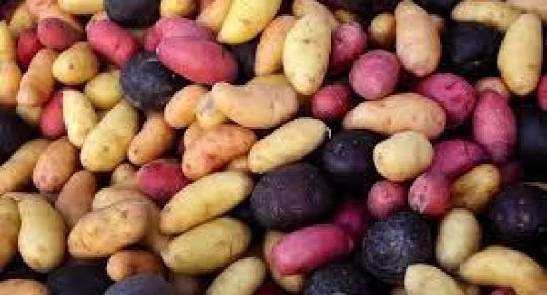Отечественный столовый сорт картофеля «сказка»
