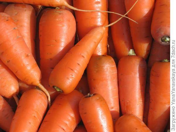 Лучшие сорта моркови для выращивания в открытом грунте: ранние, среднеспелые, поздние, урожайные, вкусные, для хранения, для посадки под зиму