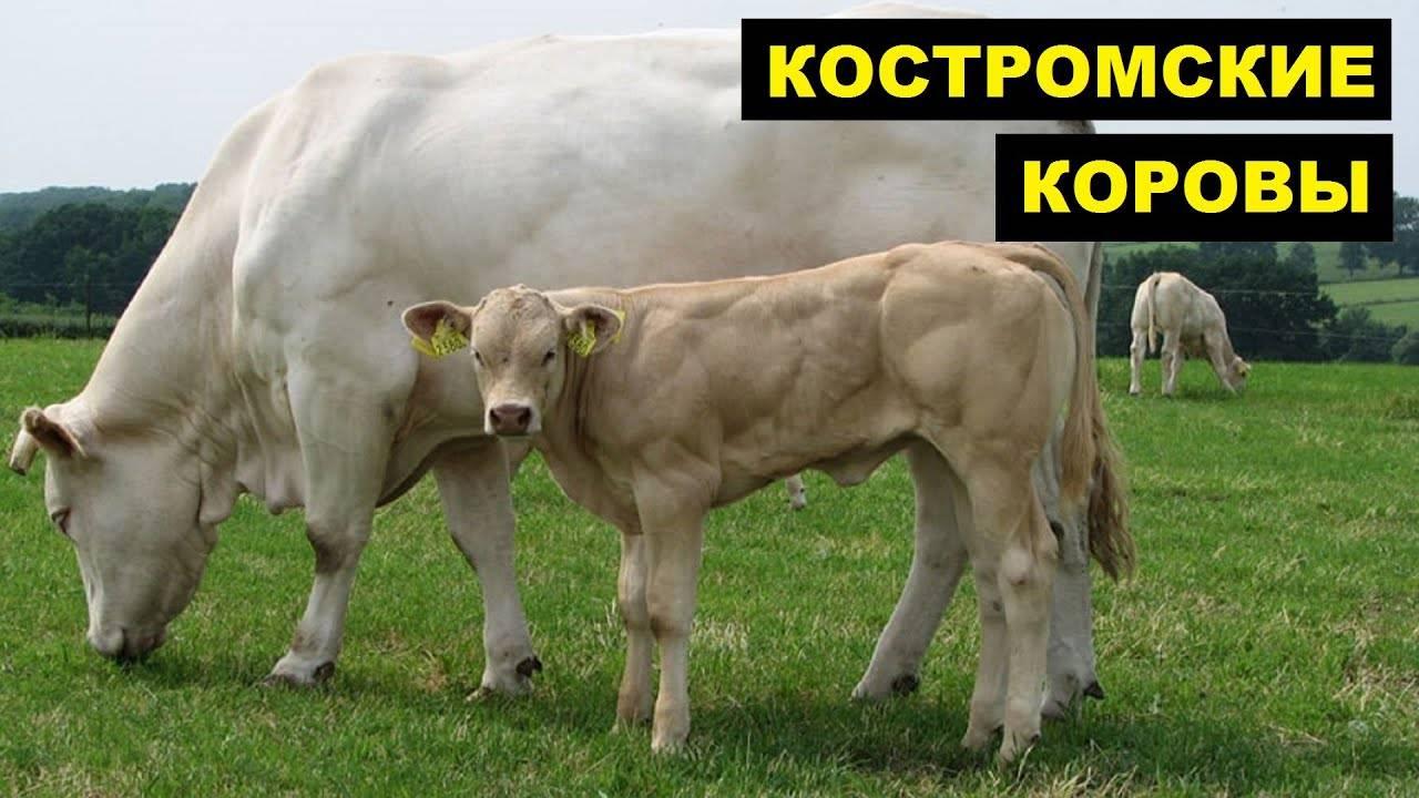 Костромская порода коров: история выведения, технология выращивания, характеристики и основные достоинства