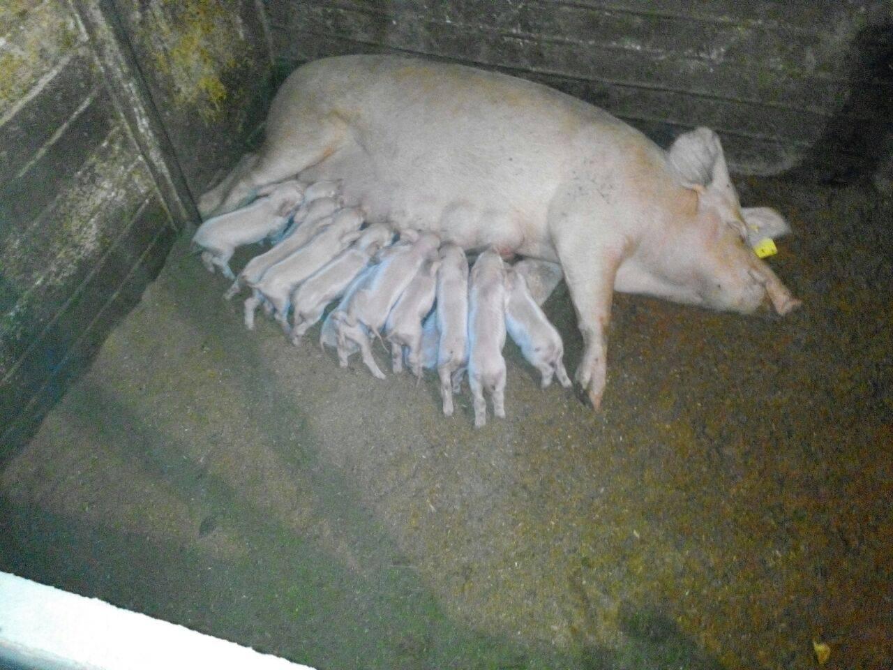 Ферментационная подстилка: применение в свинарниках и курятниках