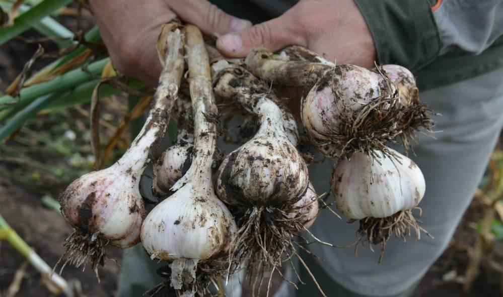 Выращивание чеснока как бизнес: рентабельность, оборудование, технологии - fin-az.ru
