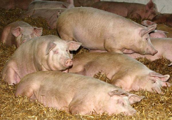 Искусственное осеменение свиней: полное руководство
