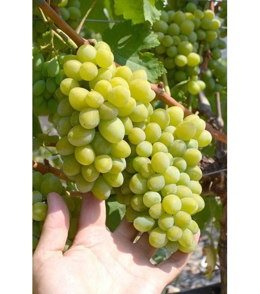 Ранний столовый сорт винограда — фрумоаса албэ - сорта винограда, столовые | описание, советы, отзывы, фото и видео