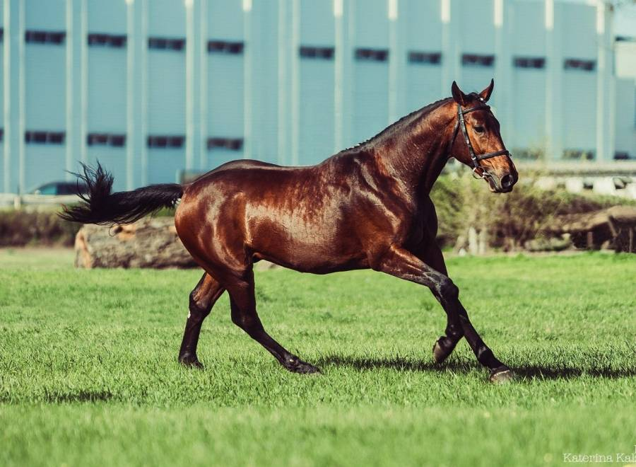 Описание лошадей Тракененской породы