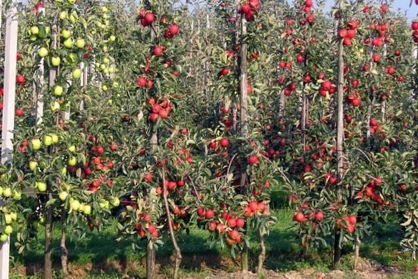 Яблоня аркадик: описание сорта, фото, отзывы, видео