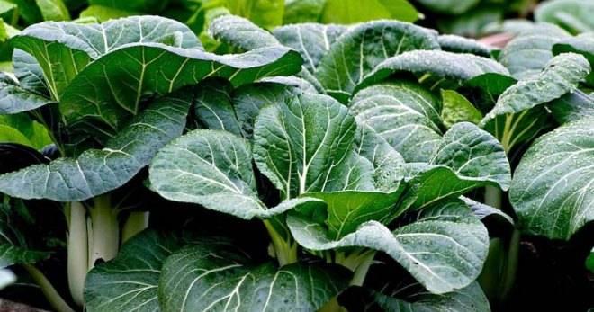 Капуста пак чой выращивание и приготовление чудо-овоща