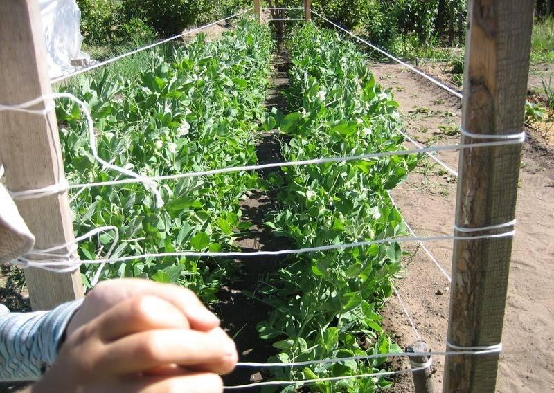 Как подвязывать помидоры в открытом грунте
