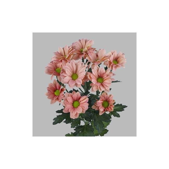 Хризантема бакарди (кустовая): белая, описание сорта, розовая хризантема бакарди (кустовая): белая, описание сорта, розовая