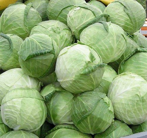 Сорт капусты ринда f1: все, что нужно знать о выращивании
