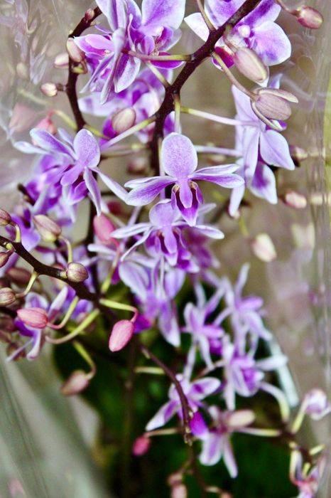 Орхидея фаленопсис (phalaenopsis). уход, цветение, размножение дома.