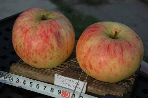 Лучшие осенние сорта яблони, в том числе для различных регионов, с описанием, характеристикой и отзывами, а также особенности их выращивания