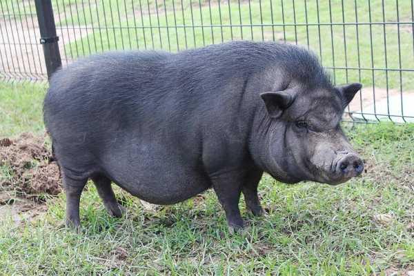 Разведение вьетнамских свиней в домашних условиях и их содержание