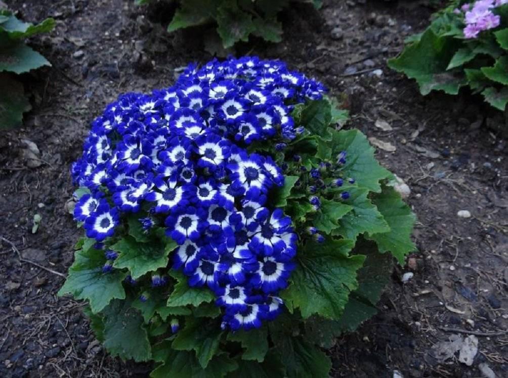 Цинерария сорта кровавая – выращиваем из семян