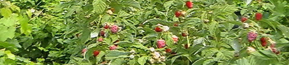 Малина недосягаемая: характеристики, достоинства и недостатки, выращивание